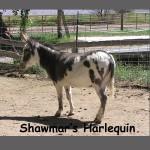Shawmar's Harlequin