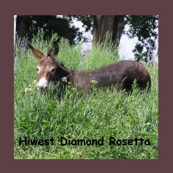 Hiwest Diamond Rosetta